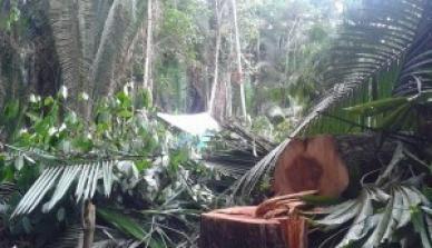 Área de Manejo Florestal da ONF Brasil é invadida por grileiros