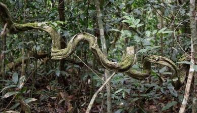 Pesquisa aponta importância da inclusão de lianas nos planos de Manejo Florestal