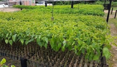 A ONF Brasil pretende reflorestar 120 hectares da Fazenda São Nicolau em 10 anos