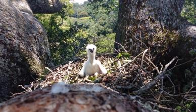 Projeto de proteção à harpia na Amazônia coleta mais de cinco mil fotos de ninhos e promove o turismo responsável para observação da águia