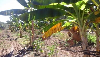 Roça Agroflorestal da Fazenda São Nicolau recebe estagiária do Programa de Integração Local da ONF Brasil para sistematização de dados