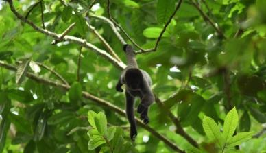 Pesquisa sobre a alimentação e as rotas preferidas pelos primatas na Fazenda São Nicolau pode contribuir na instalação de torres de observação para o ecoturismo