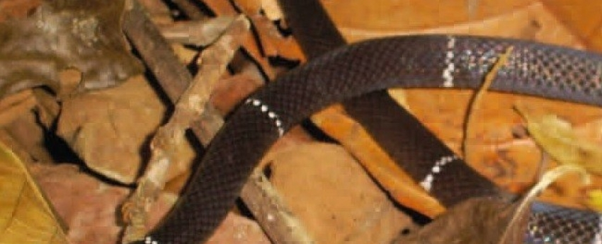 Feliz acaso na Fazenda São Nicolau: descoberta de uma nova espécie de serpente coral