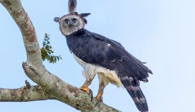 Encurraladas: maior águia do mundo, harpia já perdeu mais de 40% da sua área