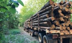 Os plantios de teca da Fazenda São Nicolau, após quase duas décadas estocando carbono, serão explorados para exportação de madeira