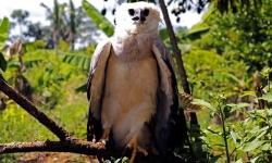 Fazenda São Nicolau recebe segunda harpia resgatada por equipe de pesquisadores