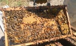 De temidas a colaboradoras: as abelhas oferecem uma nova atividade produtiva para a Fazenda São Nicolau