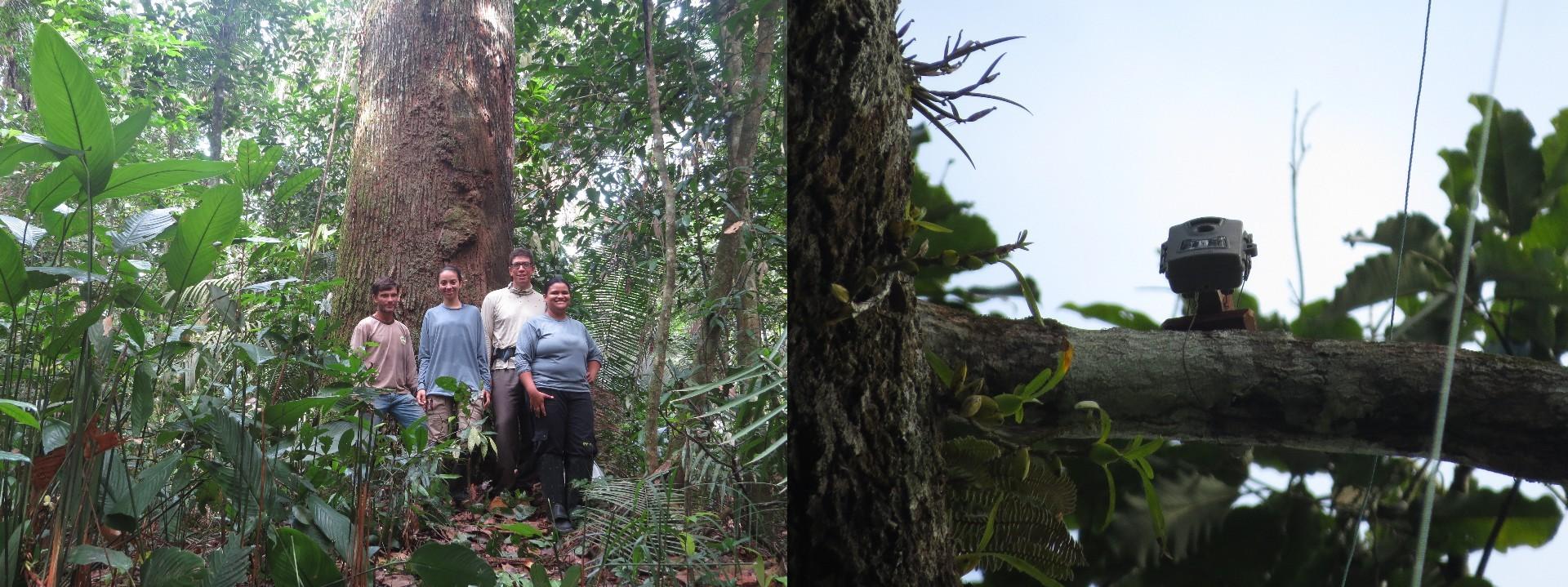 """Primeira câmera instalada em um ninho da águia, que está colocado sobre uma castanheira (Foto: Acervo do projeto """"Construindo uma estratégia para a conservação da harpia na Amazônia"""")"""