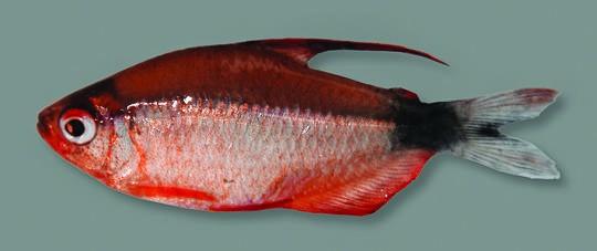 Indivíduo macho do H. peugeoti com coloração vermelha (Foto: Museu Nacional com edição de Eduardo G. Baena)