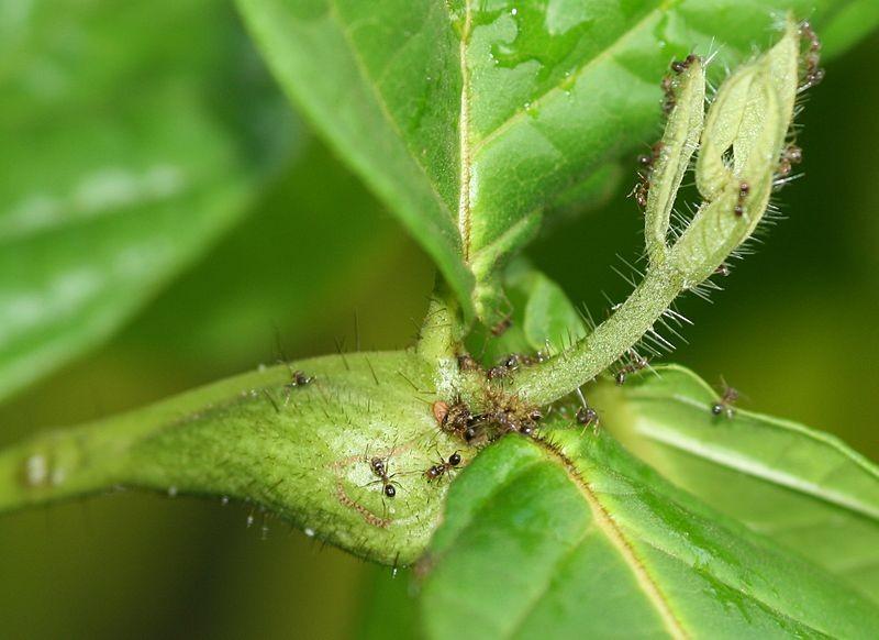 mutualismo-formigas
