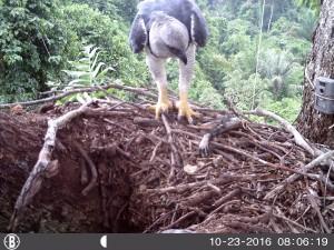 Projeto de proteção à harpia na Amazônia 2
