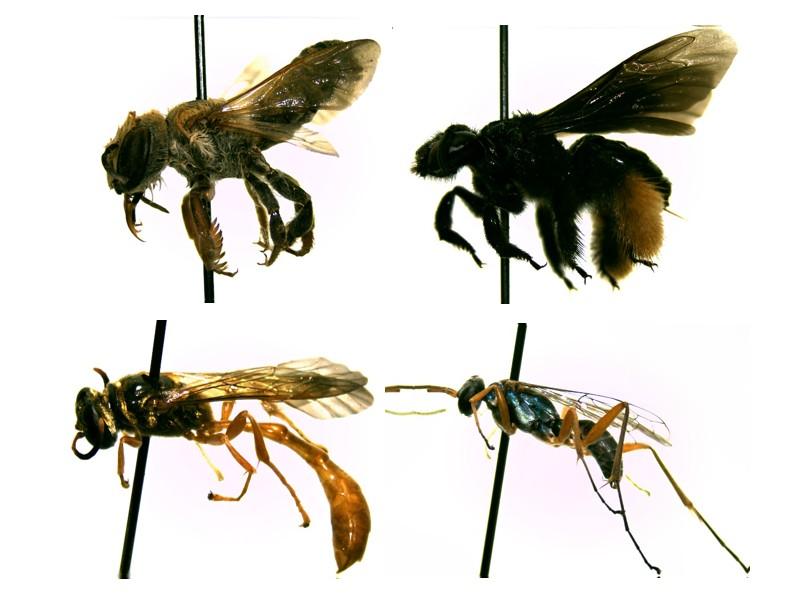 Algumas das espécies de abelhas e vespas coletadas na Fazenda São Nicolau (Foto: Gustavo Araújo)