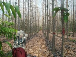 Projeto Poço de Carbono Florestal Peugeot-ONF mede quantidade de carbono estocado nas árvores de reflorestamento da Fazenda São Nicolau 10