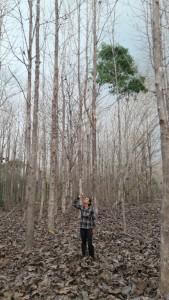 Projeto Poço de Carbono Florestal Peugeot-ONF mede quantidade de carbono estocado nas árvores de reflorestamento da Fazenda São Nicolau 3
