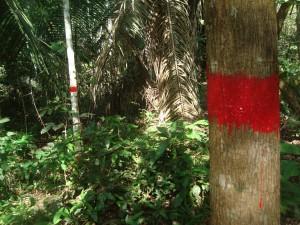 Projeto Poço de Carbono Florestal Peugeot-ONF mede quantidade de carbono estocado nas árvores de reflorestamento da Fazenda São Nicolau 7