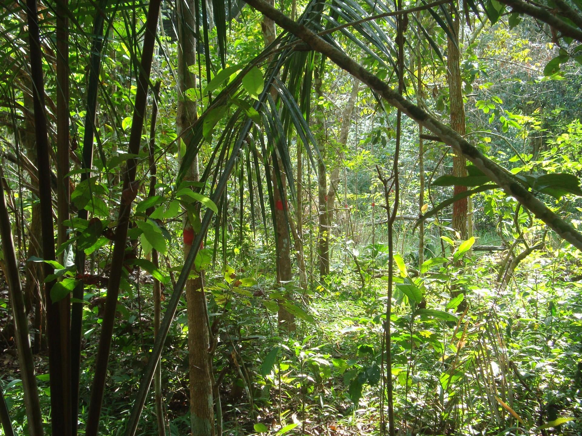 Plantios são monitorados segundo metodologia da ONF Brasil e ONF International (Foto: Alan Bernardes/ ONF Brasil)