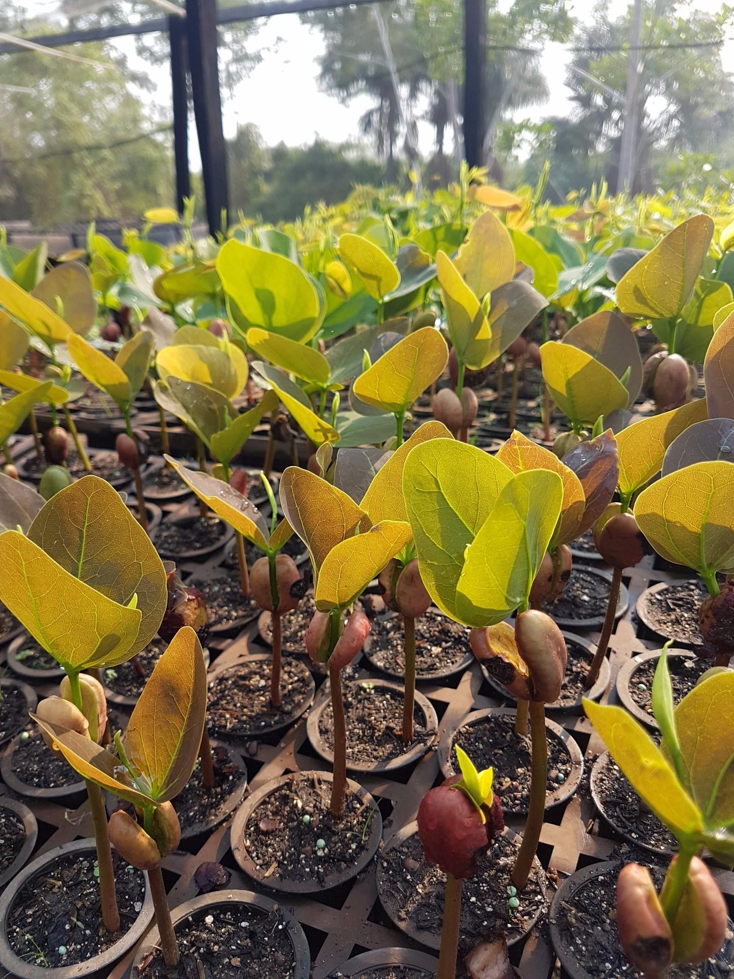As mudas devem ser plantadas em dezembro, no início das chuvas (Foto: Acervo da ONF Brasil)