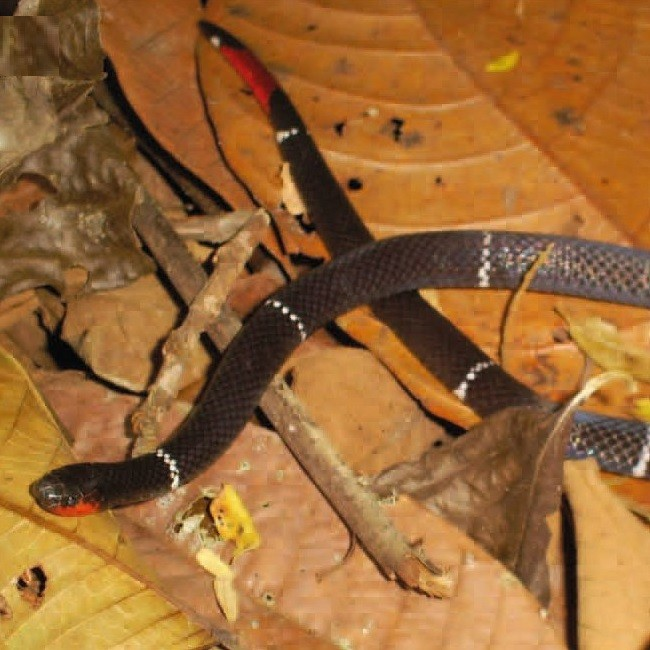 O padrão de cores da nova espécie é atípico (Foto: Bernarde, Turci, Abegg e Franco)