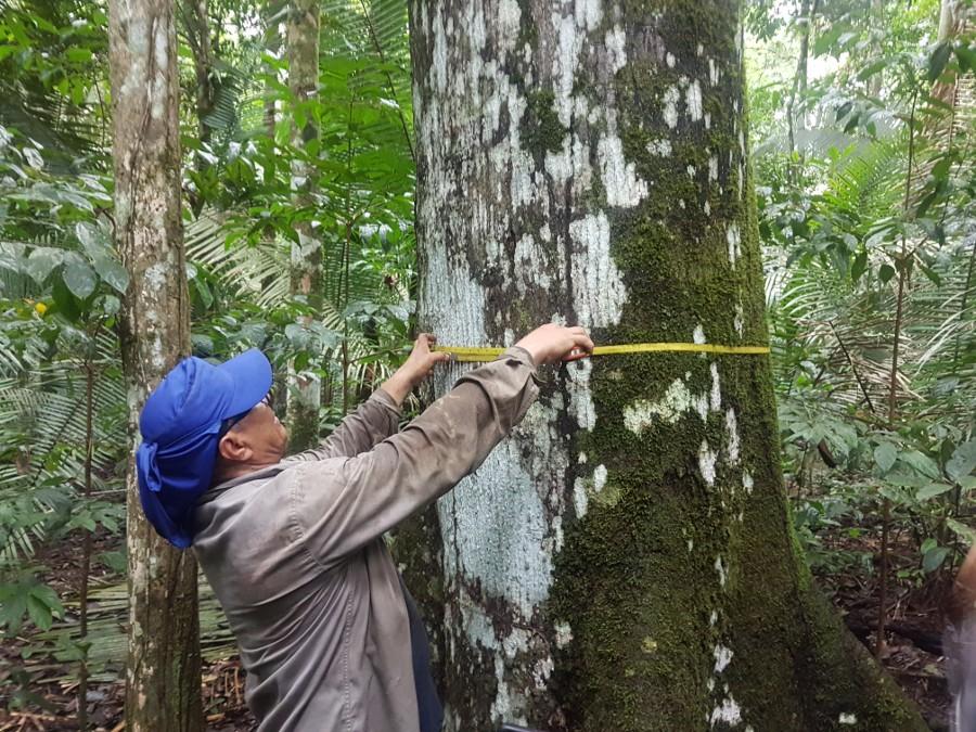 As primeiras medições foram realizadas e serão repetidas após a exploração florestal (Foto: ONF Brasil)