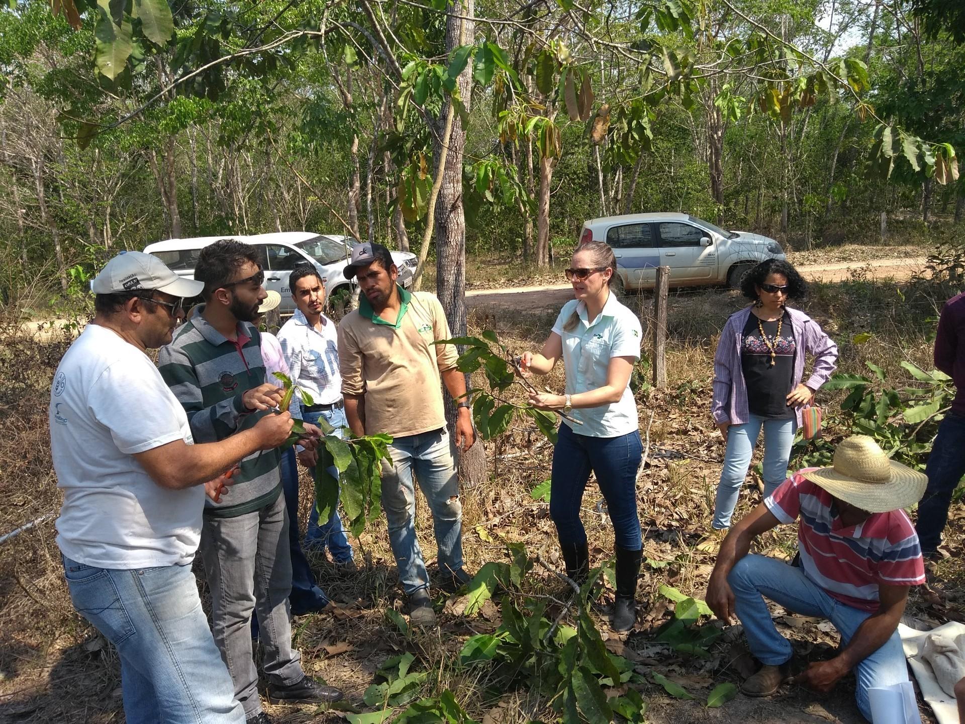 O grupo coleta material da planta-mãe para realizar o enxerto (Foto: Saulo Thomas)