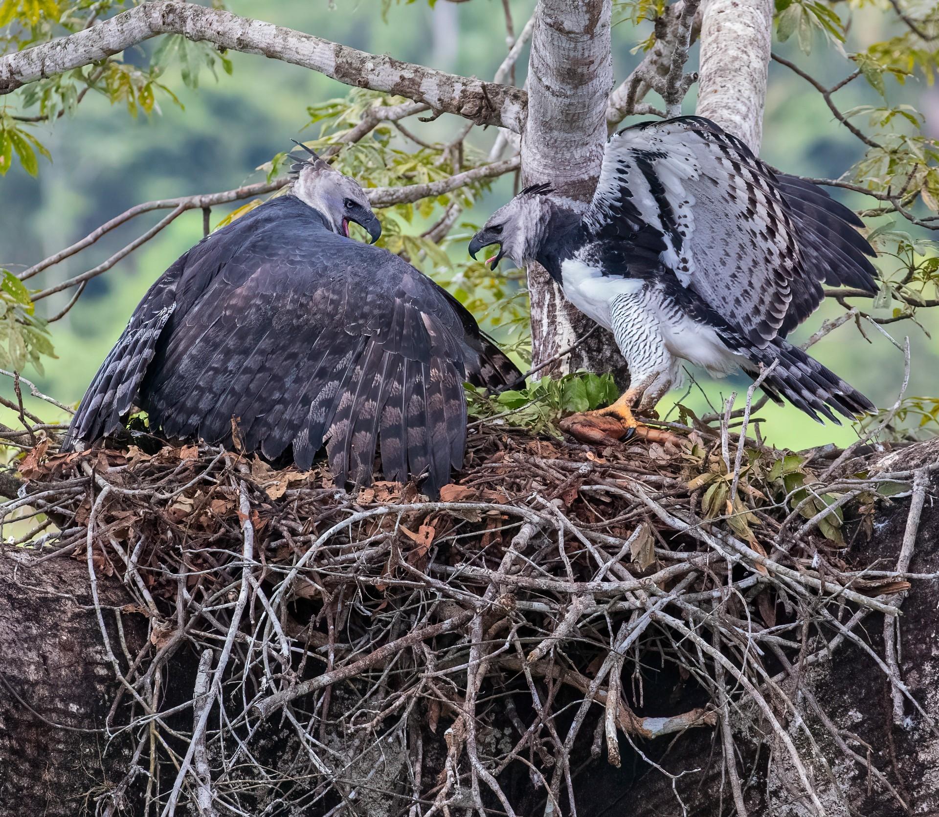 O desejo futuro dos pesquisadores é de que Íris e Marc formem um casal, como as outras águias livres na Fazenda que, em seu habitat natural, são monogâmicos para a toda vida e usam o mesmo ninho de 20 a 30 anos (Foto: David George)