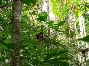 Jardim-de-formigas suspenso em um cipó em uma borda de floresta nativa e área de reflorestamento em estágio avançado de recuperação, na Fazenda São Nicolau (Imagem: Ricardo E. Vicente)