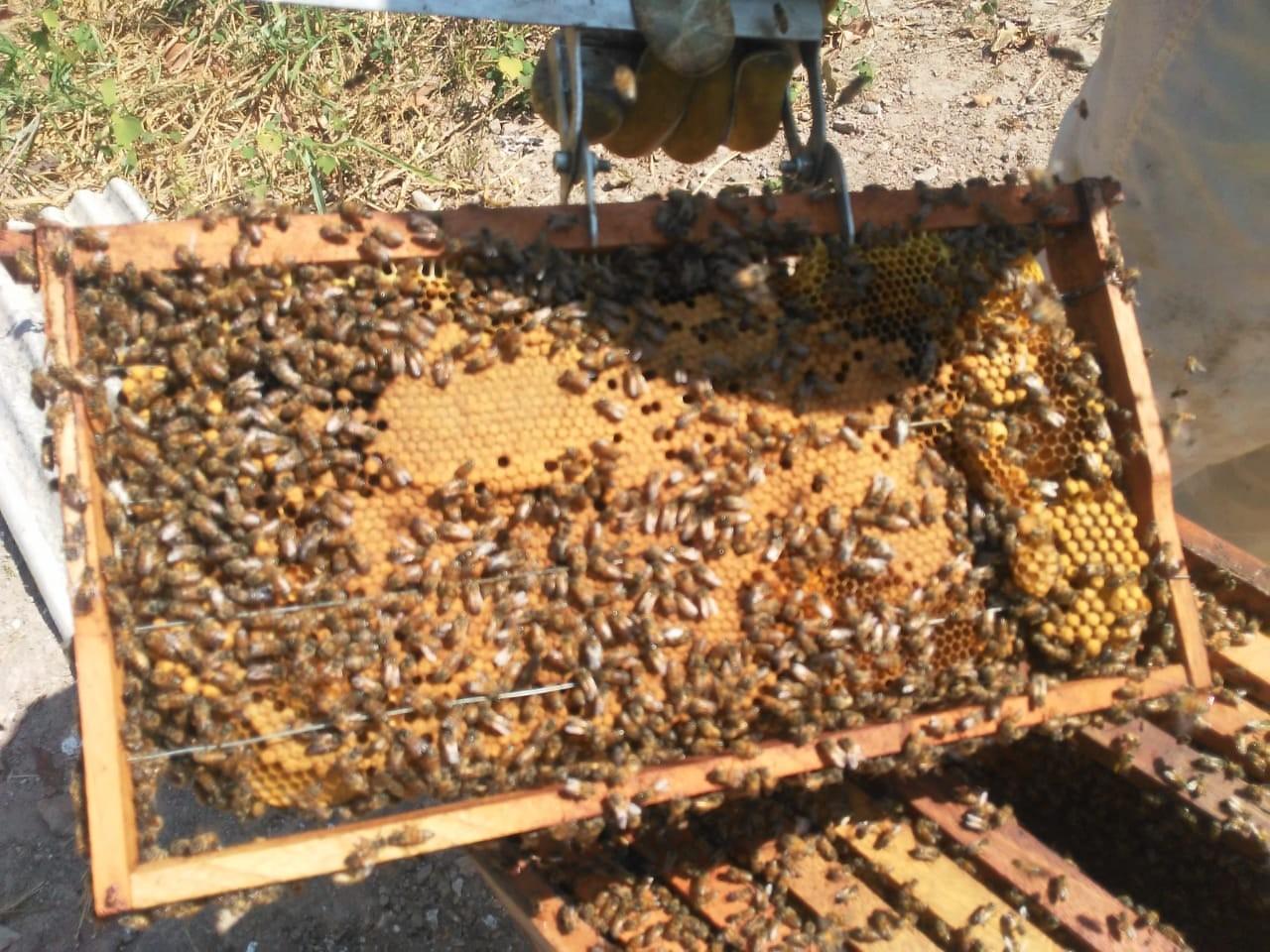 Abelhas em uma das caixas a serem utilizadas para a produção de mel (Foto: Saulo Thomas/ONF Brasil)