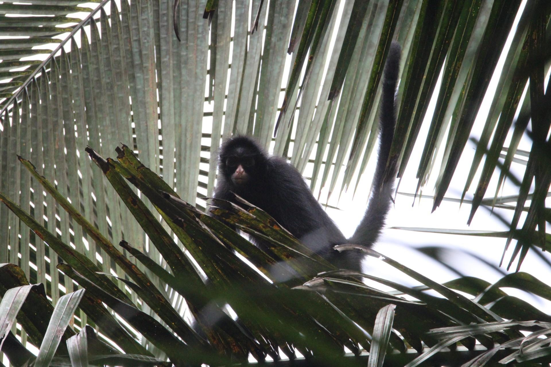 Orientador e pesquisadora escolheram a metodologia de observação de mamíferos a partir de trilhas pré-definidas. Registro de macaco-aranha-da-cara-preta (Ateles chamek) (Foto: Gustavo Canale)