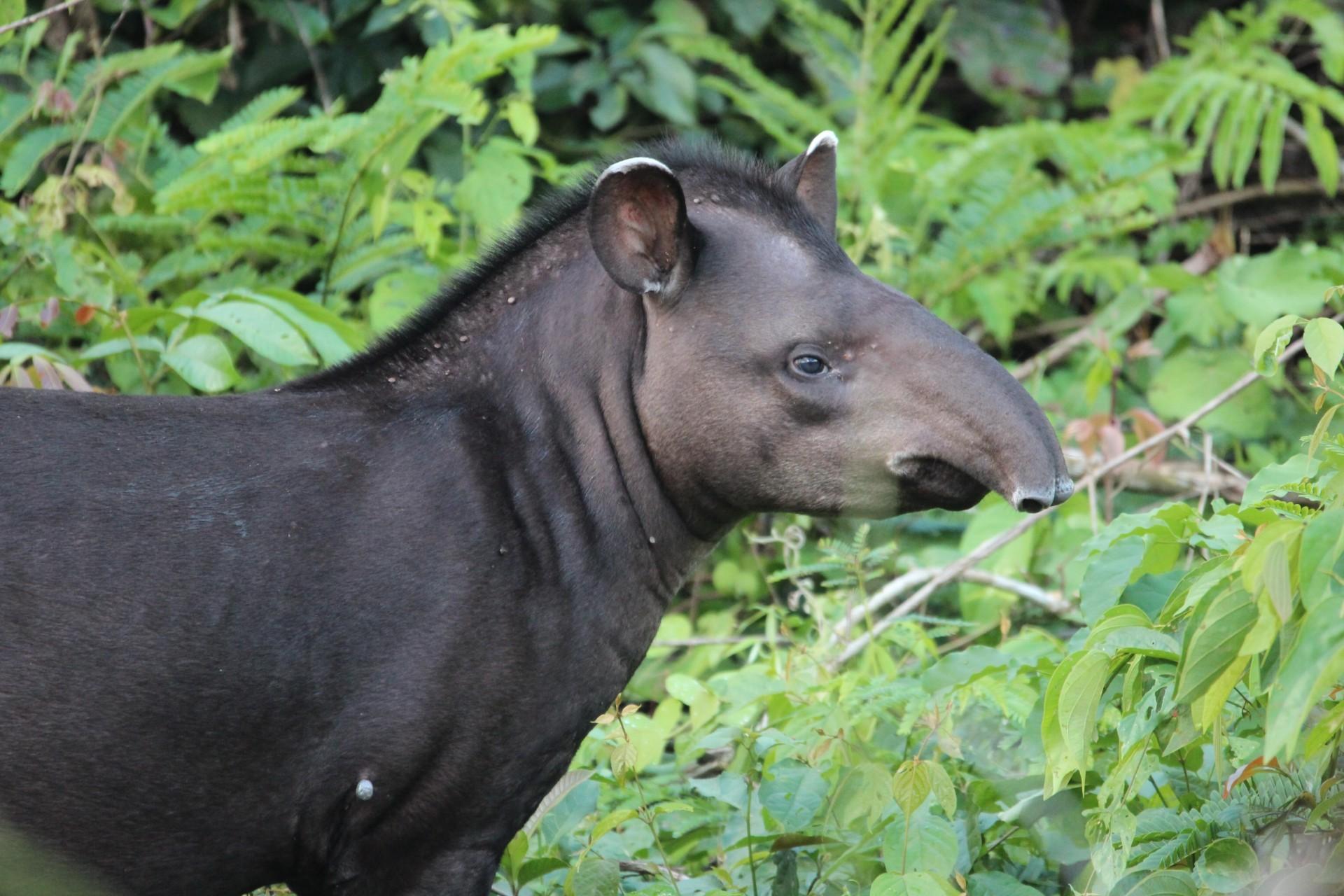 Anta (Tapirus terrestris) fotografada durante saída de campo na Fazenda São Nicolau (Foto: Gustavo Canale)