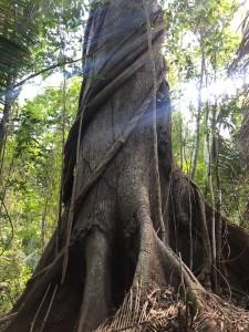Árvores centenárias surpreendem as equipes (Foto: Acervo da ONF)